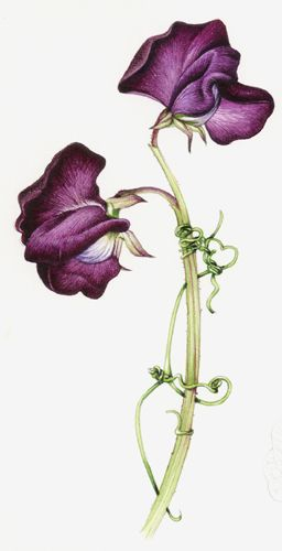 News » Botanical Illustration step by step - Painting a Sweet Pea - July 26th 2013 – Lizzie Harper Illustration ¦ Botanical Illustration & Scientific Illustration by Lizzie Harper
