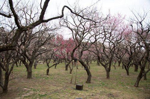 Plum 偕楽園のウメ kairakuen plum ウメ 梅 偕楽園 水戸 mito prunusmume バラ科 rosaceae 春 spring flower plant