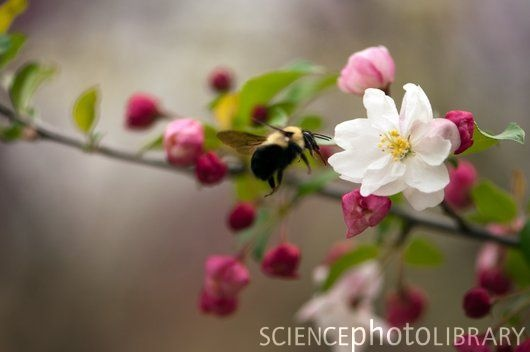 Apple Malus flower with a bee