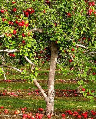 Яблоня «Джеймс Грив»