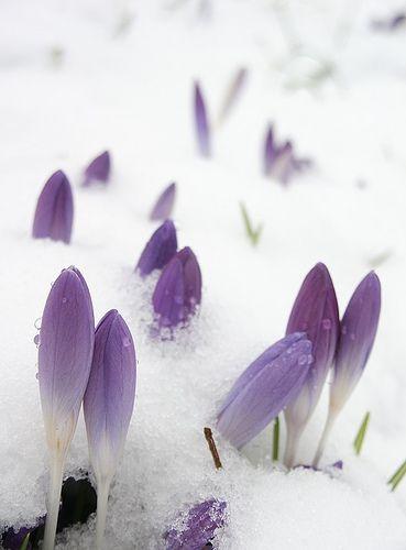 Crocus snow - Ben Llewellyn