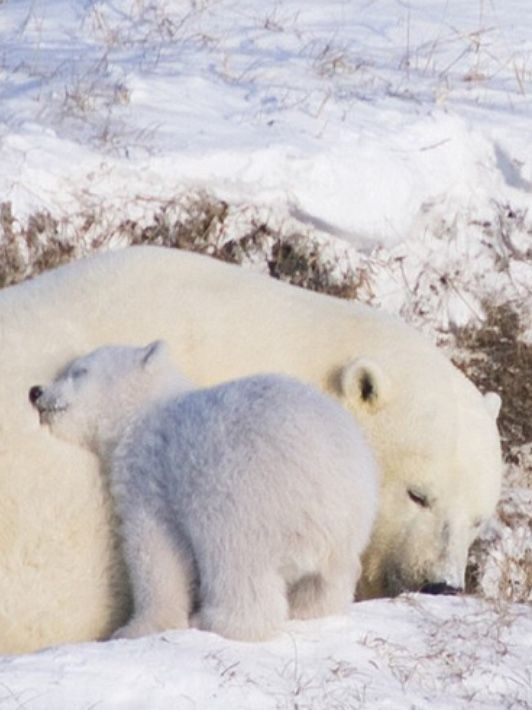 Baby and mommy polar bear
