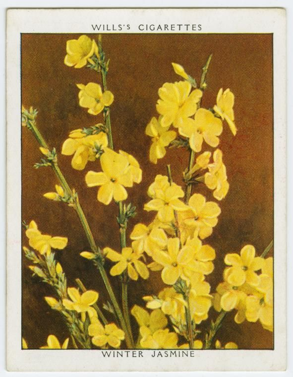 "#28 Winter Jasmine (Jasminum Nudiflorum) ~ Will's Cigarettes, ""Flowering Shrubs"" series from The New York Public Library Digital Collections."