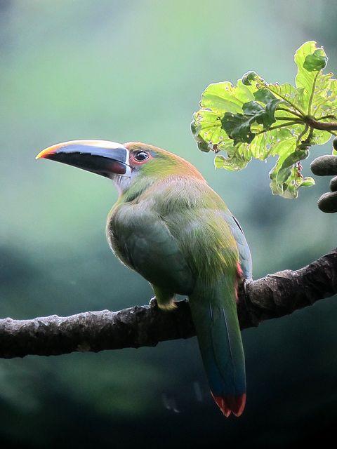 Aulacorhynchus prasinus / Tucancito esmeralda / Emerald Toucanet   Flickr - Photo Sharing!
