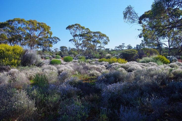 Springtime bush flowers, Karlkurla Bushland Park, Kalgoorlie
