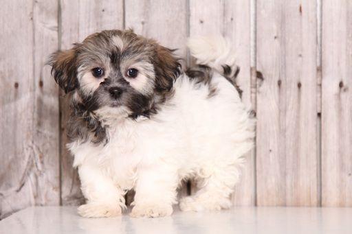 Zuchon puppy for sale in MOUNT VERNON, OH. ADN-49907 on PuppyFinder.com Gender: Female. Age: 9 Weeks Old