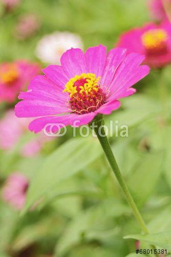 Kenikir flower' cosmos caucadus  pink 1