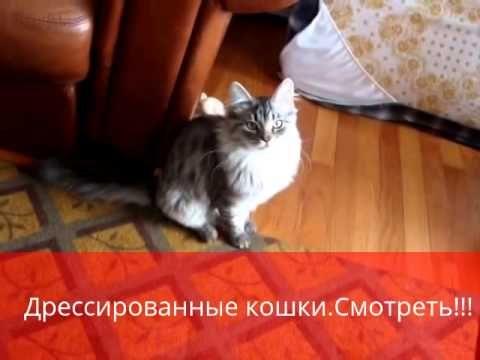 Дрессированные кошки,Умора!!!