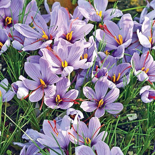 "LOOOVE! Saffron Fall Blooming Crocus Form Perennial Hardiness Zone 5-9 Flowering Time Early - Mid Fall Light Requirements Full Sun;Half Sun / Half Shade Flower Color Lavender blooms with red stigmas Flower Form Cup-shaped flower Foliage Type Narrow, grass like leaves. Growth Rate Medium Zones 5-9 Height/Habit 4-6"" Spread 2 - 3"" Planting Instructions 3"" deep and 2 - 3"" apart"