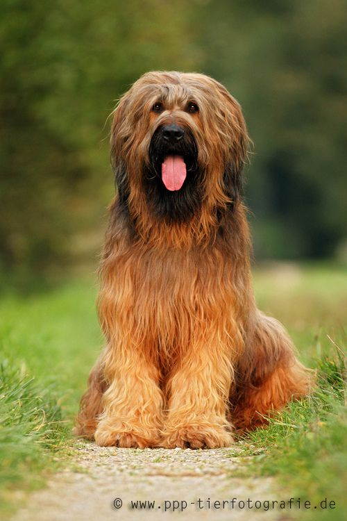 Briard sitting on the way in autumn | by Partridge-PetPics