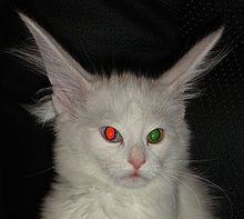 Tapetum lucidum - Wikipedia  Odd-eyed cat with eyeshine, plus red-eye effect in one eye