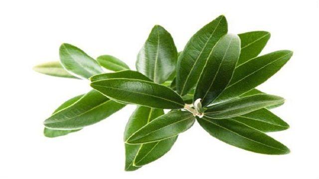 La hoja de olivo fue utilizada por primera vez en medicina en el Antiguo Egipto. Los beneficios reportados de esta hoja en el aumen...