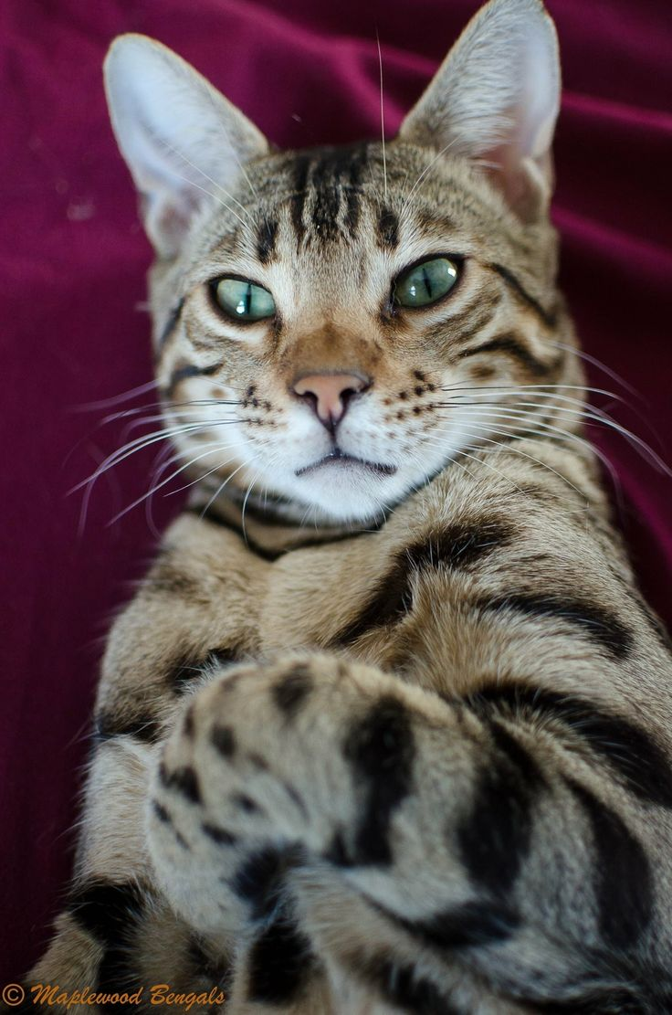 1764 best Bengals images on Pinterest
