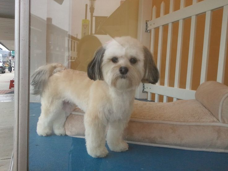 Havanese Teddy Bear cut