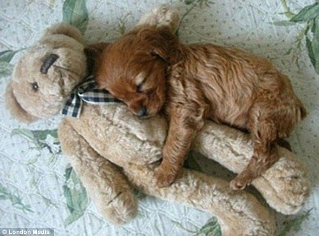 sleepingNap Time, Bears Hug, Cute Puppies, Little Puppies, Puppy Love, Teddy Bears, My Heart, Cocker Spaniels, Animal