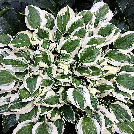 'Diamonds are Forever' Hosta  Each dark green leaf has a broad, snow-white edge that will add sparkle to your shady borders. In late summer, it produces graceful stalks topped with purple bell-shape flowers.  Name: Hosta 'Diamonds are Forever'  Growing Conditions: Shade or part shade and well-drained soil  Size: To 10 inches tall and 24 inches wide  Zones: 3-9  Grow It With: Corydalis
