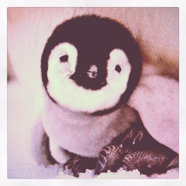 Baby penguin. Penguin.