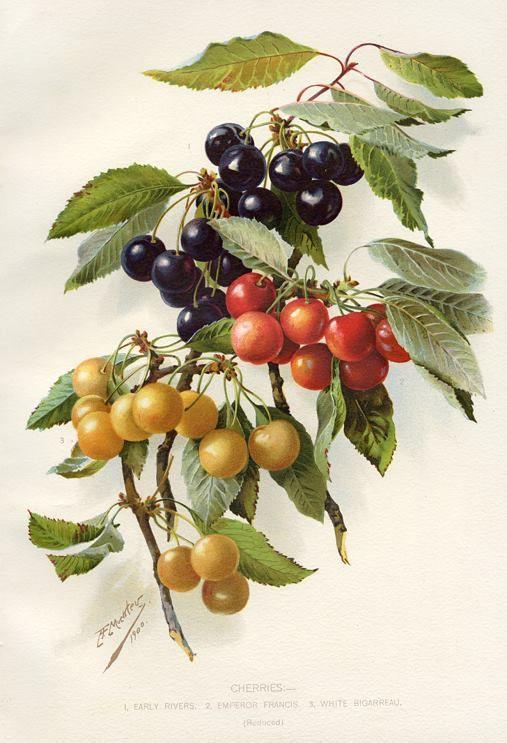 "vintage botanical print | Cherries - 1.Early Rivers, 2.Emperor Francis, 3.White Bigarreau"" bold ..."