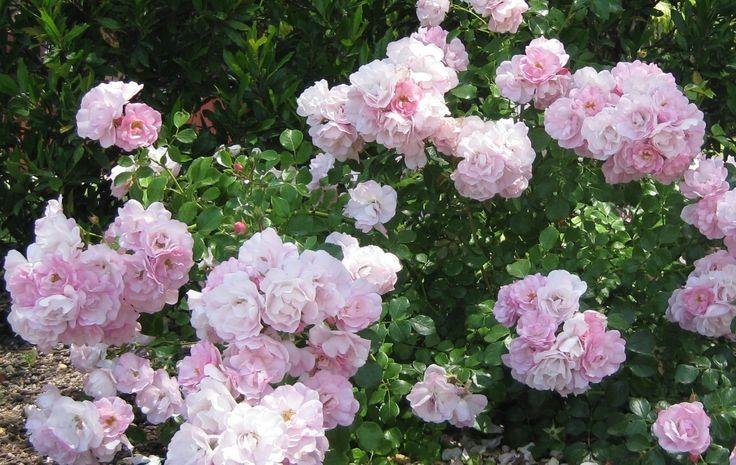 24 Best ROSES Images On Pinterest Pruning Roses Garden