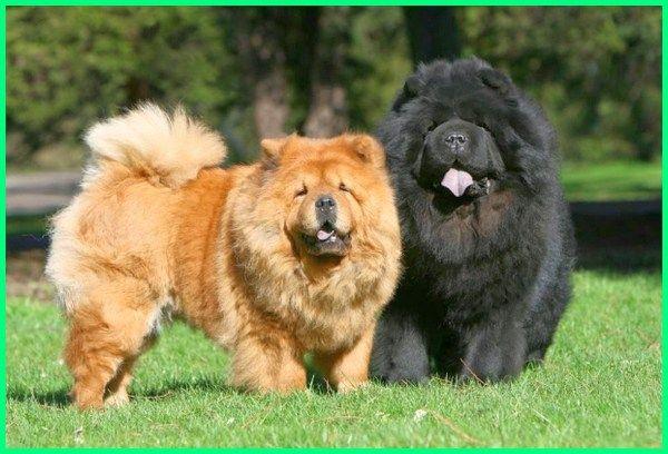 13++ Jenis anjing toy poodle terbaru