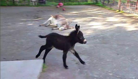 Σε μια φάρμα στο Ουισκόνσιν των ΗΠΑ, ένα γαϊδουράκι γεμάτο ενέργεια κάνει κύκλους τρέχοντας γύρω από τη μητέρα του. Φαίνεται ακούραστο!