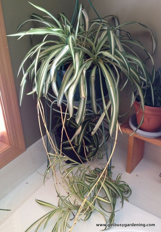 68 best how to identify a houseplant images on pinterest houseplants plant care and indoor plants. Black Bedroom Furniture Sets. Home Design Ideas