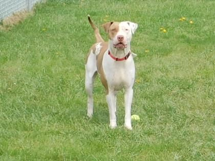 Donna - URGENT - Stark County Humane Society in Louisville, Ohio - ADOPT OF FOSTER - 5 year old Spayed Female Am. Bulldog Mix - This pretty little girl is named Donna! She appears to be housebroken, she will just need time to adjust to her families new schedule. Donna perfers to be the only animal in a home, she likes all of the attention. she likes to go for walks and to play. Donna is full of energy and life.