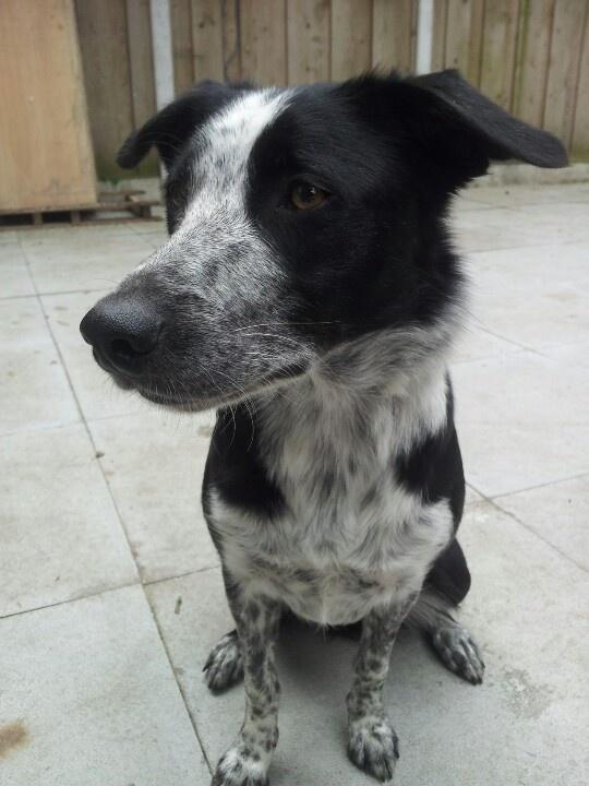 Short-haired Border Collie. Looks like Alfie!