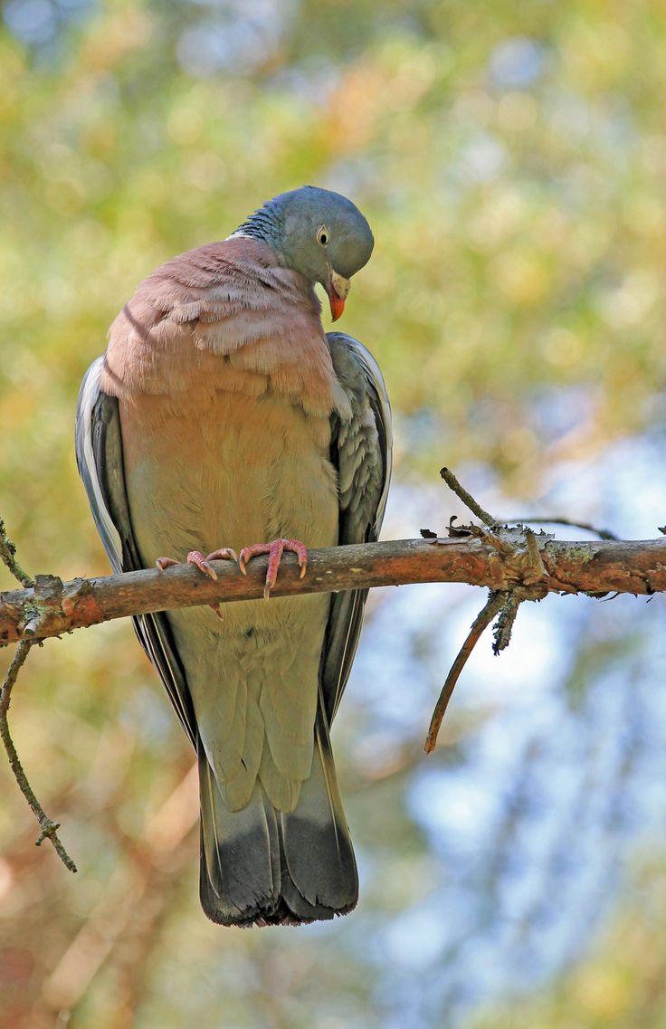 ~Watercolors In The Rain~ — michaelnordeman: Wood pigeon.