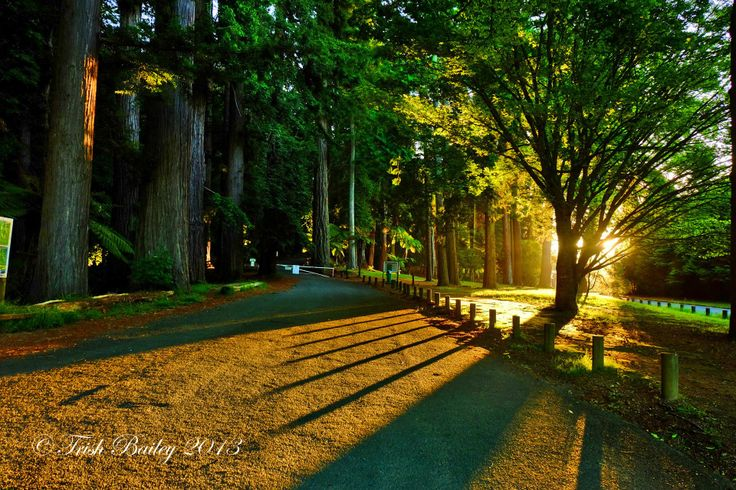 Redwoods in Rotorua taken by Trish Bailey. The sun was sinking low and casting long rays through the trees highlighting the carpark and any insects flying by.   Taken with an XM1.  Settings 400asa @Carol Van De Maele Spicer sec F4.5 hand held
