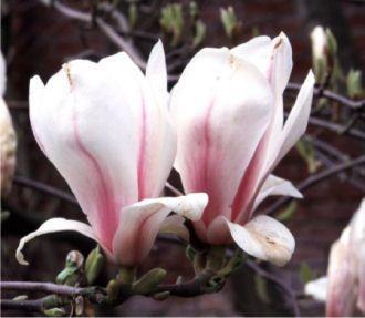Magnolia soulangiana - Tulpen-Magnolie günstig online kaufen - MEIN SCHÖNER GARTEN