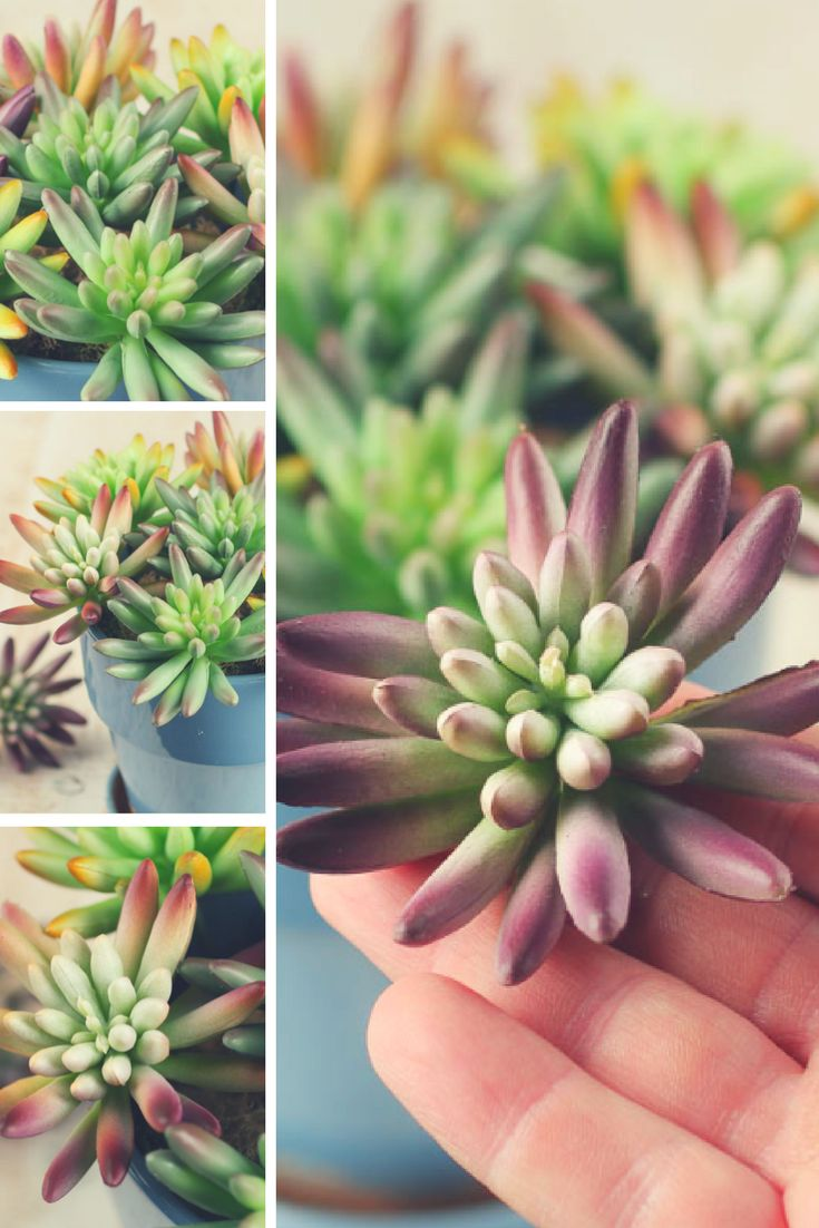 These lively succulent plants can effortlessly provide color and texture to your home decor and botanical arrangements.