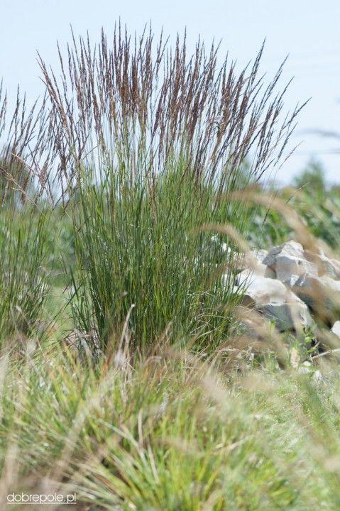 """Szkółka Bylin """"Dobrepole"""" (Calamagrostis acutiflora """"Karl Foerster"""" - trzcinnik ostrokwiatowy)"""