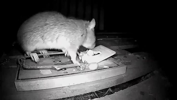 GREATEST RAT TRAP EVER!! IN ACTION CATCHING RATS!! - YouTube