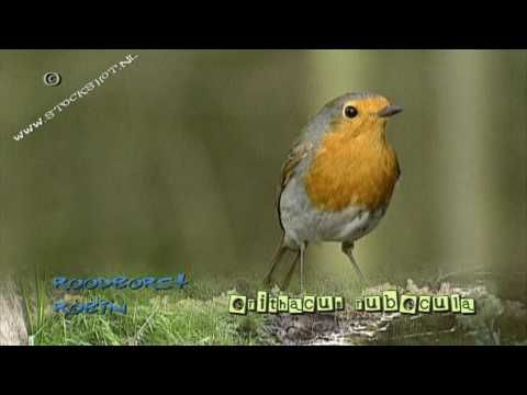 roodborstje - Readboarstke - European Robin - Erithacus rubecula   Looking for broadcast footage? Don't shoot! Contact  http://www.stockshot.nl/english/startuk.htm ©