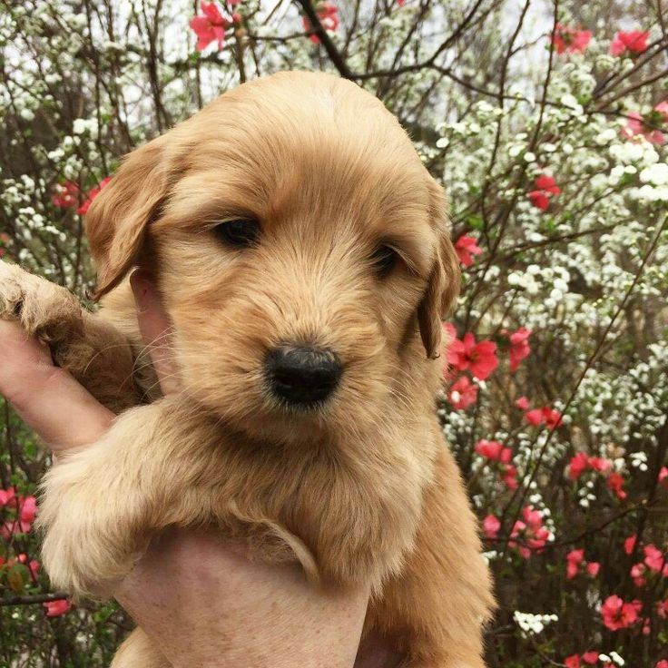This is Juno our Goldendoodle puppy. She's adorable