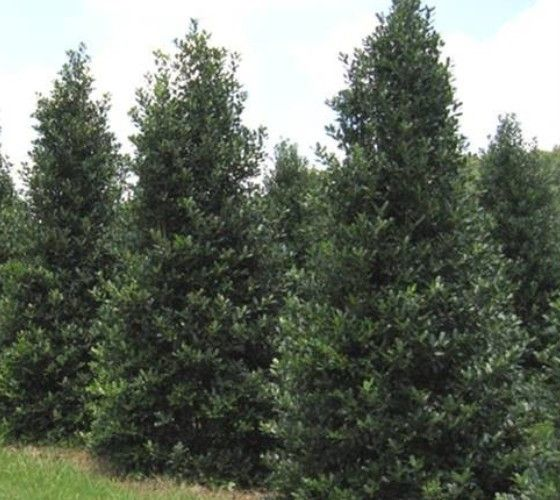 Nellie Stevens Holly- full sun to part shade, 15-25 tall x 5-10 w produces berries without a male,drought resistant grows 3 ft/year