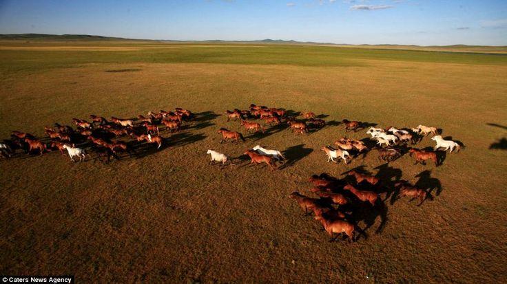 Mongolian Ponies