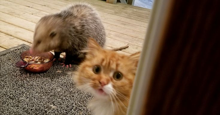 This Cat's Reaction To Possum Stealing Her Food Gets Better And Better With Every Pic | Bored Panda