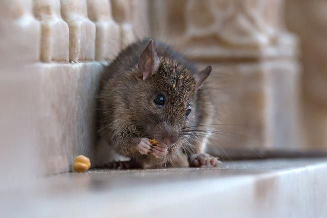 The Pest Control Company Orkin Ranked The Cities With The Most Rat Infestations Is Your City On The List Diy Pest Control Pest Control Pest Control Supplies