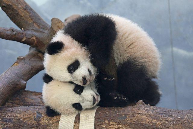 Mei Lun and Mei Huan, panda cub twins at the Atlanta Zoo.