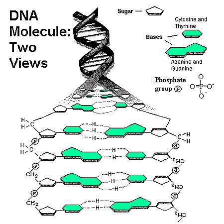 Dna Structure Deoxyribose Nucleotides in dna;   Tattoo: Science ...