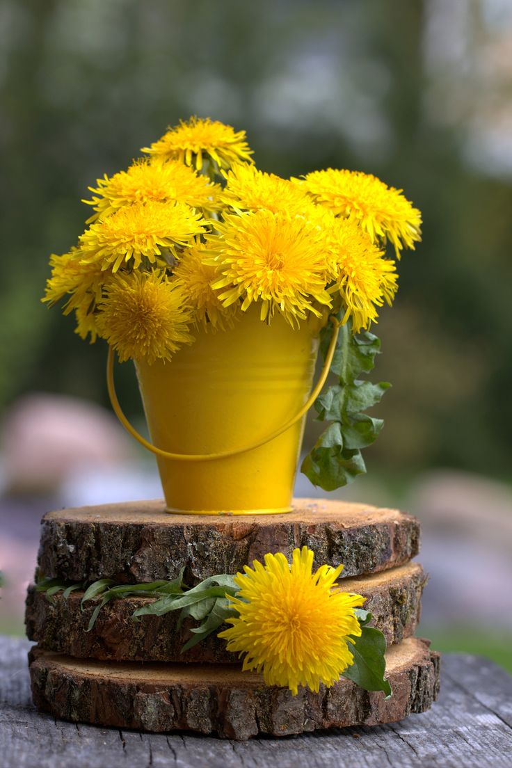 Dandelions bucket Have a Sunny day, friends