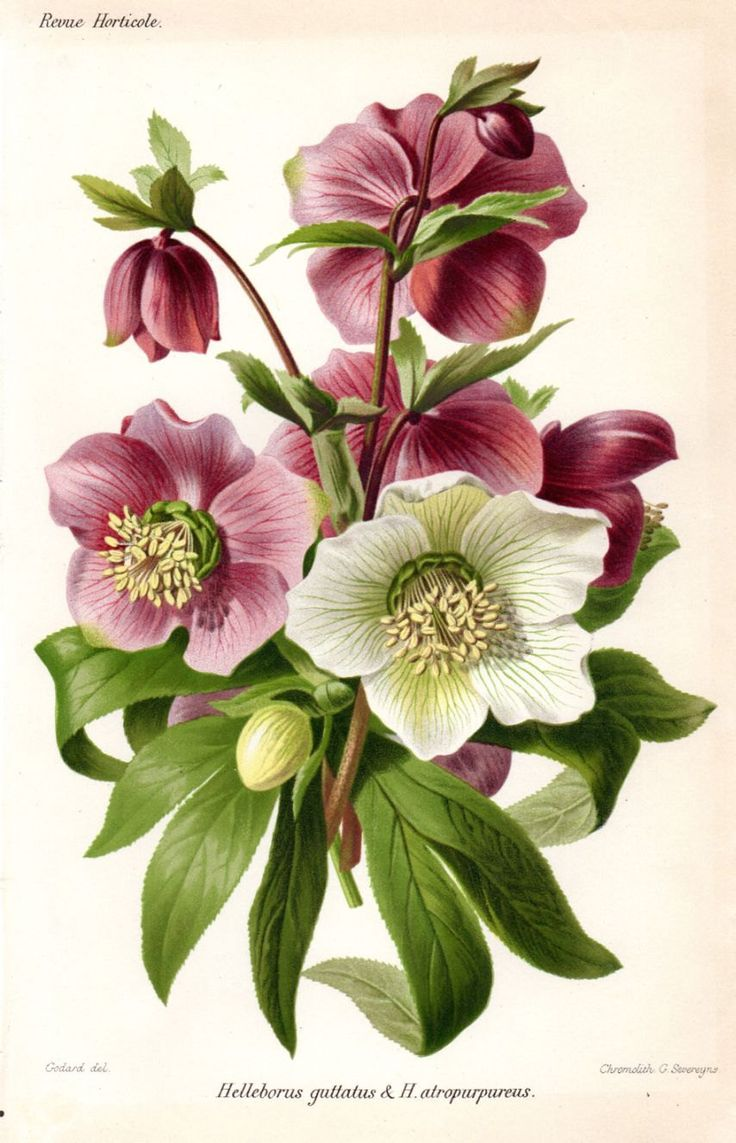 1883 hellebore purple white antique botanical print french for Botanic fleurs artificielles