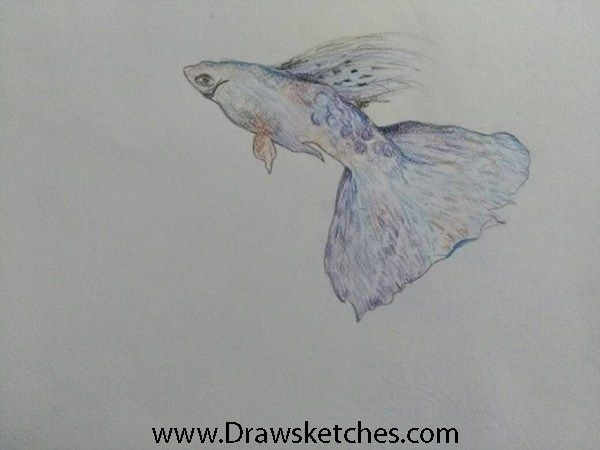 How To Draw A Guppy Fish In A Few Easy Steps With Pictures Guppy Fish Fish Pet Drawings