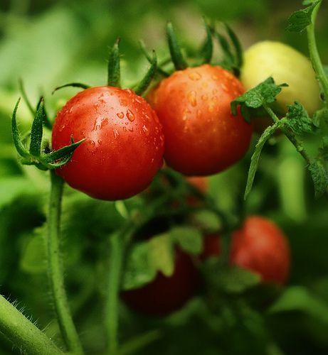 1000 Images About How To Grow Tomatoes In Containers On 400 x 300