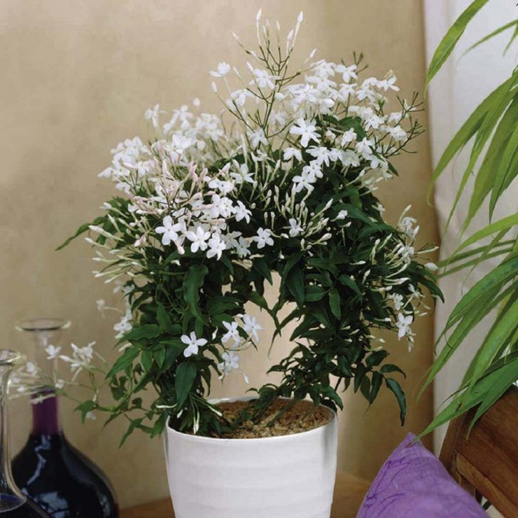 Growing jasmine flowers in bedroom will significantly decrease anxiety levels and giving positive effect on sleep quality also emitting oxygen during the night Best Indoor Plants For Bedroom Air Quality And Restful Sleep