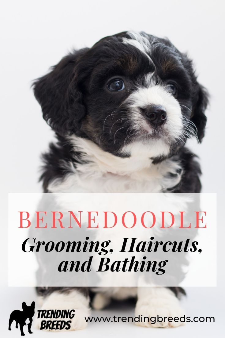 Do Bernedoodles Need Grooming Haircuts Styles And Bathing Tips