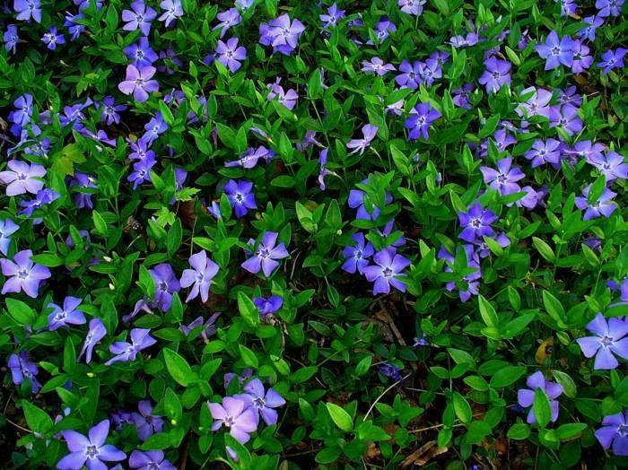 les Pervenches à fleurs pourpres et délicates dans le jardin ombragé