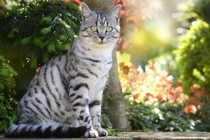 Descargar  Imágenes gratis de  Gato atigrado gris con vibrante mirada en el jardín